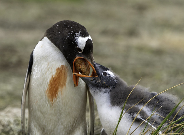 Gentoo Penguin Passing Food to its Young on Sea Lion Island - Falklands 81