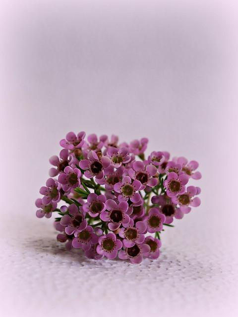 2020 Sydney: Purple Tea Tree Flowers