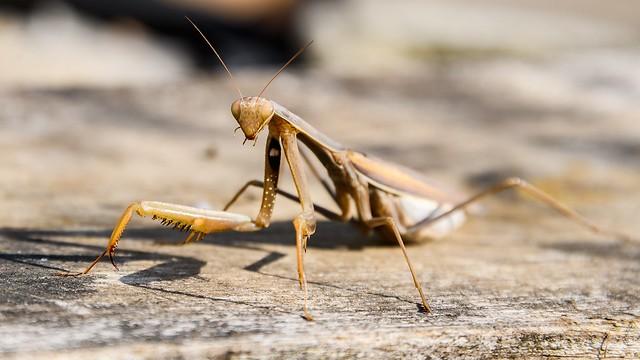 Praying mantis from Crimea. \ Крымский богомол.