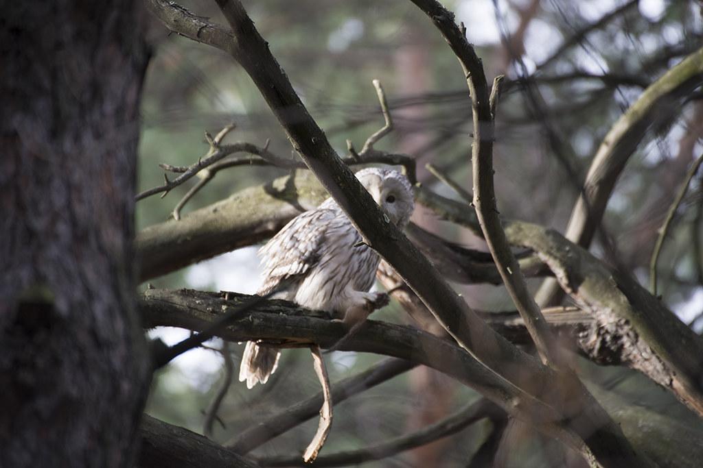 Живёт сова в дремучей чаще!