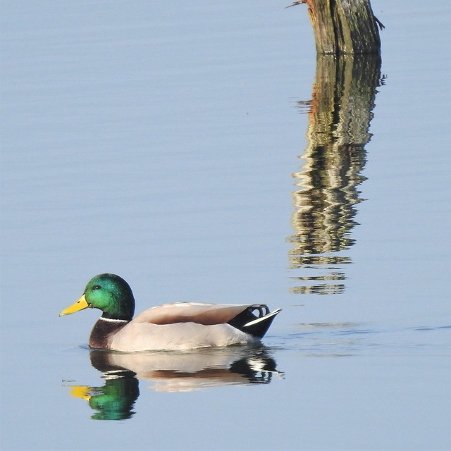 Mallard and Post - Reflected Duo