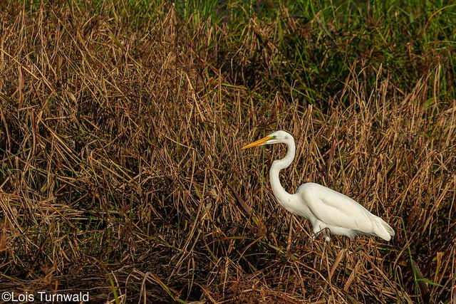 Egret in the Golden Light