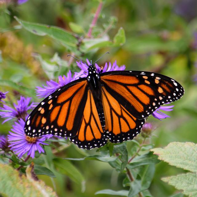 Migrating Monarch - 4180