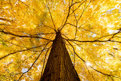 fall autumn maple tree looking up canada ontario leaves flickrfriday yellow nature