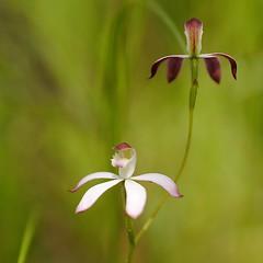 Musk Caladenia  Caladenia gracilis