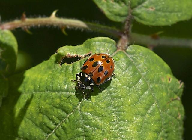 Eyed Ladybird --- Anatis ocellata