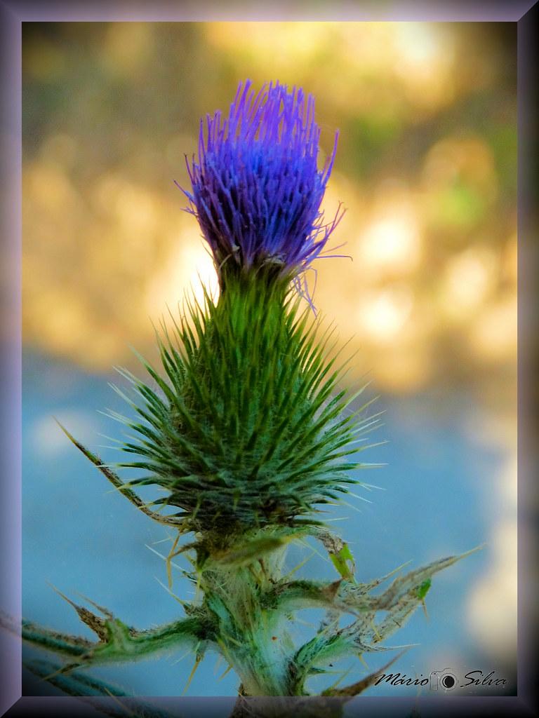 flor de cardo_ms