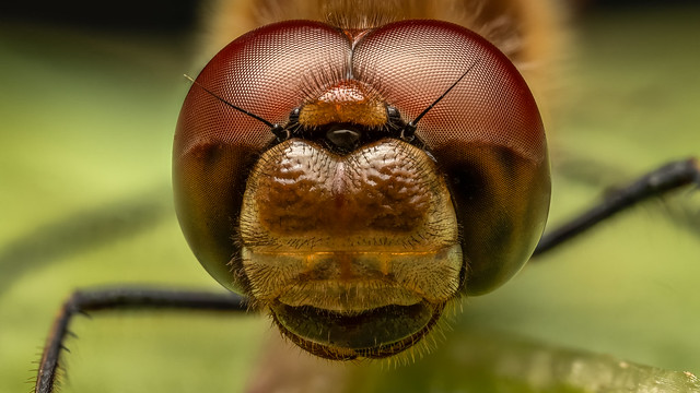 Common Darter head-on x2