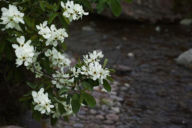 Pearlbush