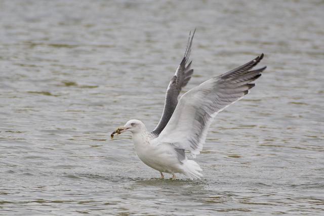 Common Gull with crayfish