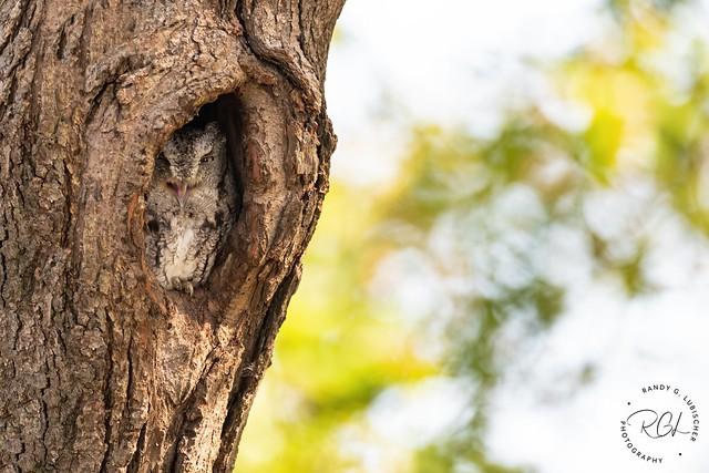 Eastern Screech Owl (Gray Morph) - Megascops asio | 2020 - 4