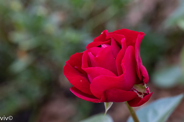 Pretty red Rose unraveling