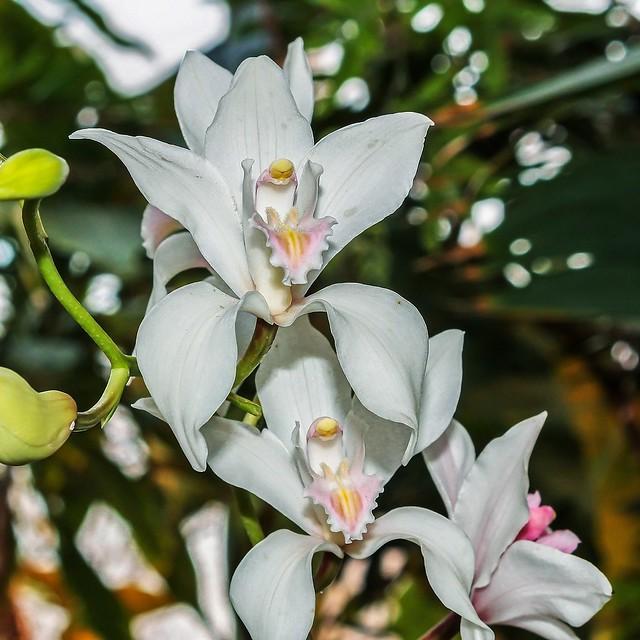Cymbidium insigne; Orchidaceae (1)