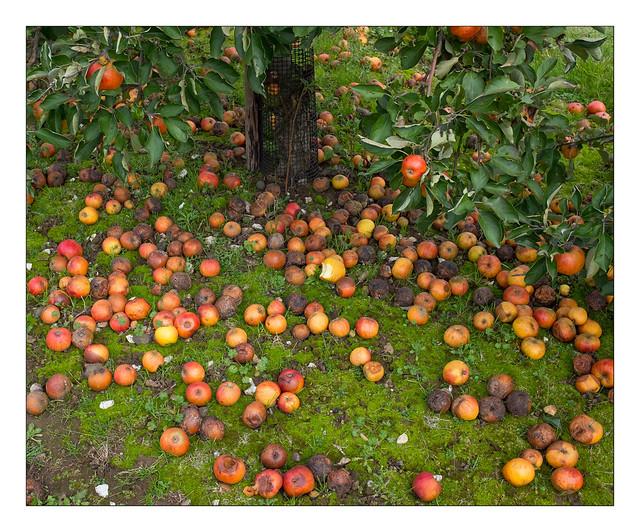 Fallen apples, Brogdale Farm, Faversham, Kent, England.