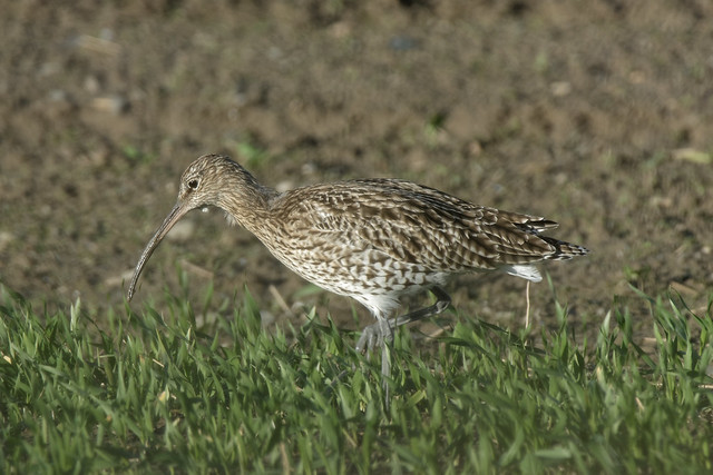 Curlew in the field