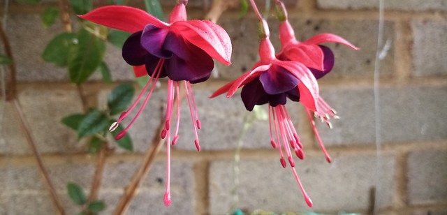 Fuchsia 'Lady Boothby' flowering on balcony 14th October 2020 001