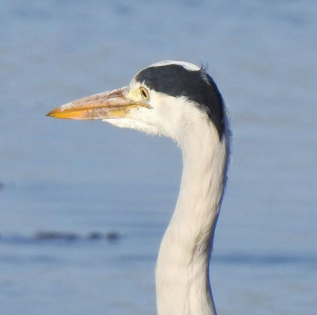 Grey Heron - Head and Neck