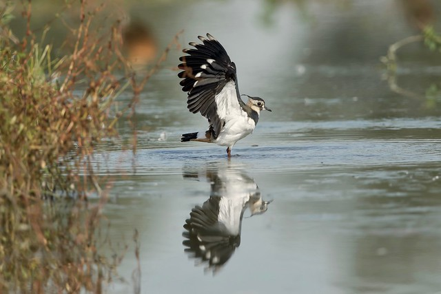 LAPWING IN THE POND