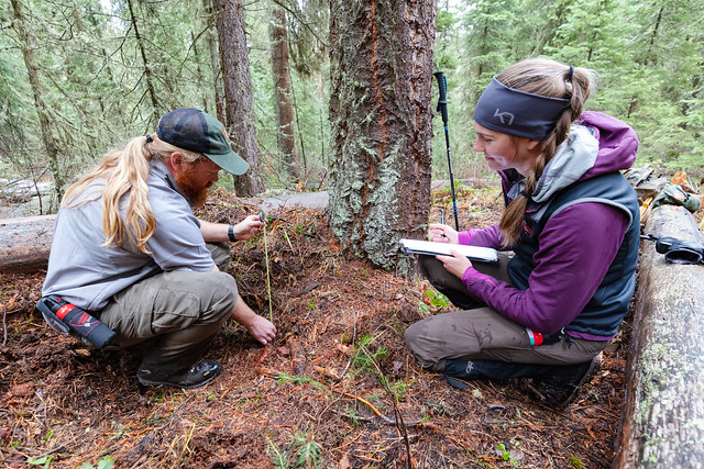 A biological technician and Montana State University graduate student take measurements of a grizzly day bed site