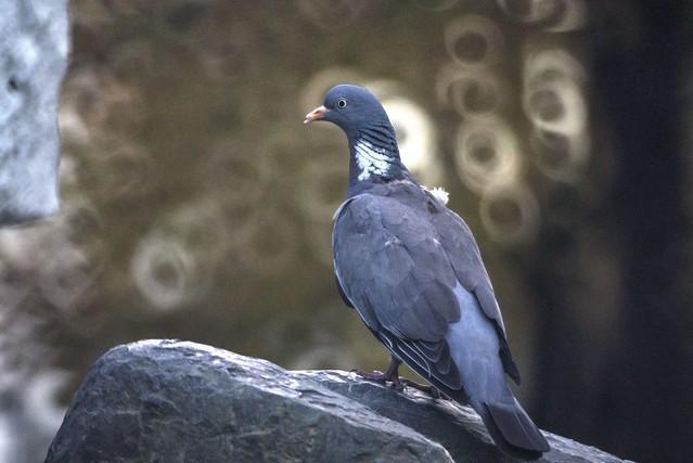 pigeon6a_o