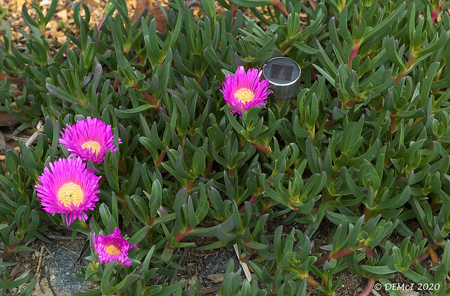 Pigface with flowers