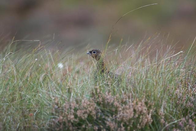 Excellent camouflage, grouse! #camouflage #redgrouse #gamebird #bird #scottishbirds #grouse #birdsofscotland #loch #lochindorb #scotland #birdphotography #naturephotography #wildlifephotography #wildlife #nature #wildlifeofscotland #natureofscotland #natu