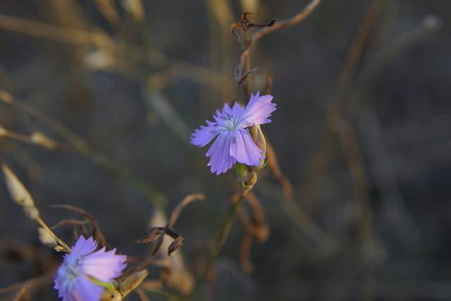 Осеннее цветение / Autumn blossom (1)