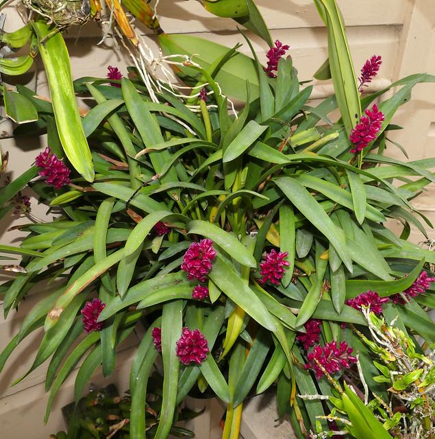 Arpophyllum alpinum species orchid 10-20*