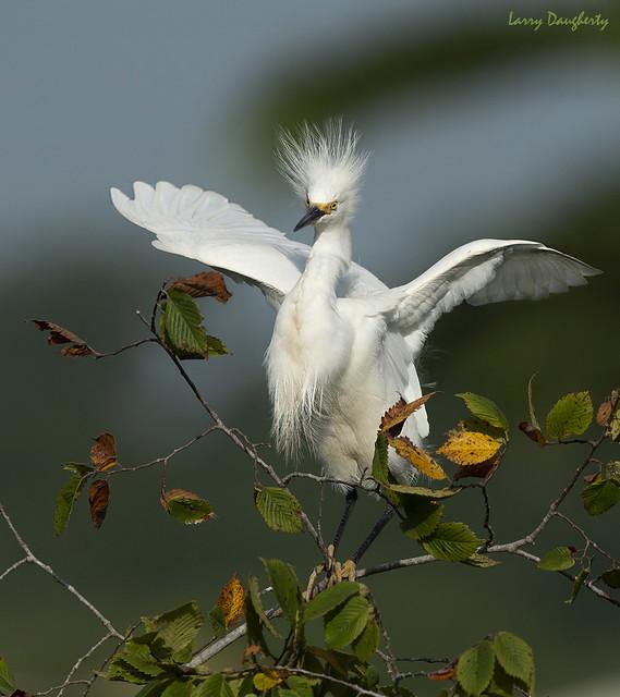 Snowy egret.......D800