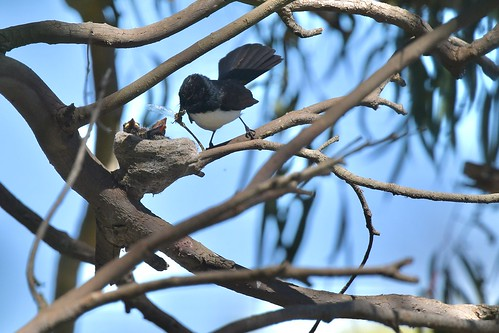 Willie wagtail (feed time and we have lost one ) | by friendsintheair