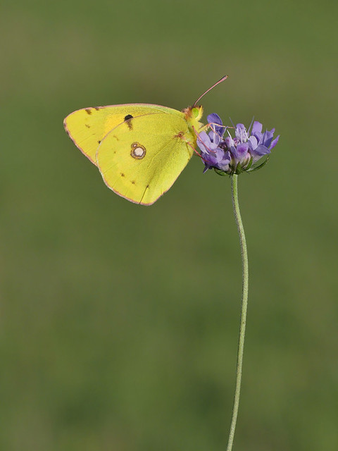 Clouded Yellow Butterfly (male). No cropping.