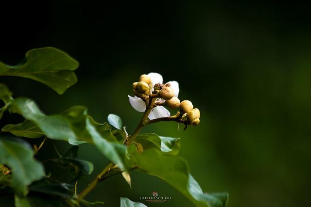 Flor de onoto/achiote