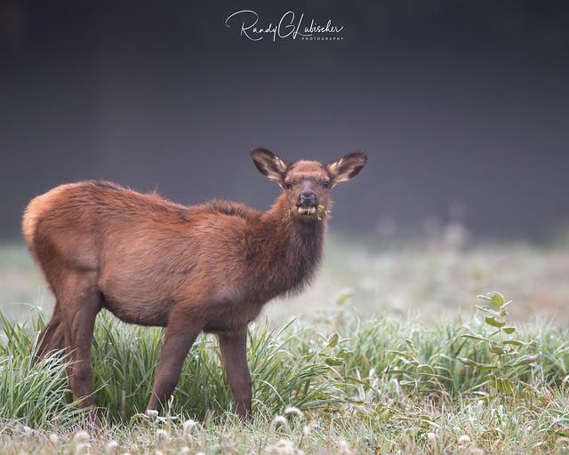 Elk of Benezette | 2020 - 32