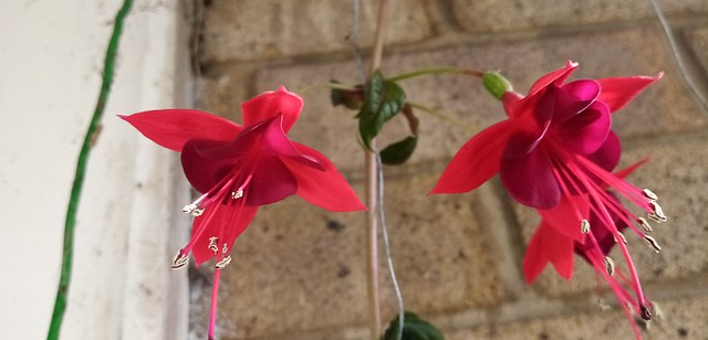 Fuchsia 'Lady Boothby' flowering on balcony 14th October 2020 003