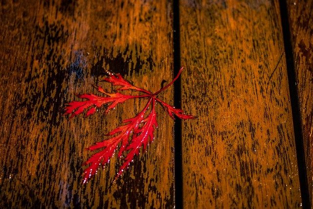 autumn hits the soggy deck in a last flash of glory colour. A Potterton garden, Aberdeenshire, Scotland.