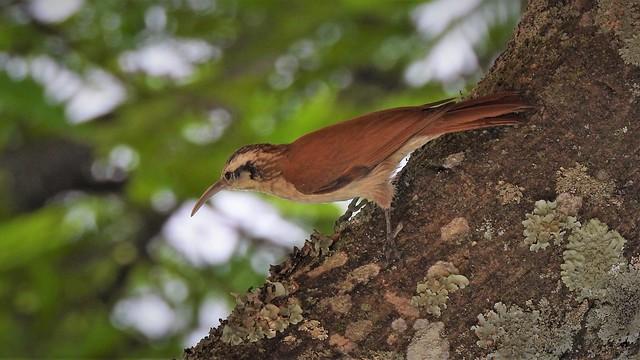 Arapaçu-de-cerrado - Narrow-billed Woodcreeper