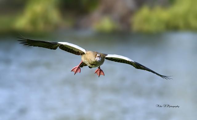 Egyptian goose,flight