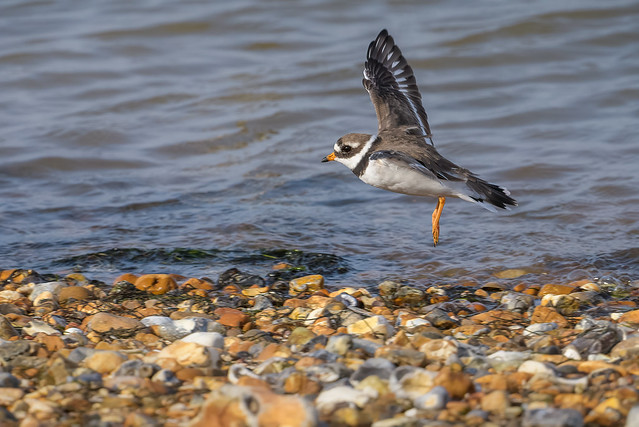 Ringed Plover_D85_4344_19October2020