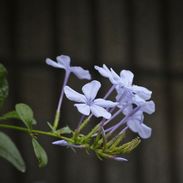 blue plumbago with my SIGMA DP3 Merrill (2/3)
