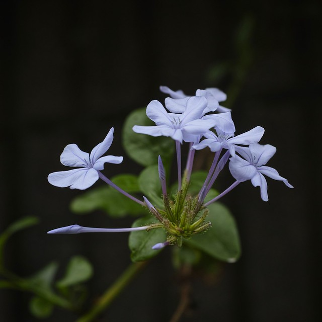 blue plumbago with my SIGMA DP3 Merrill (1/3)