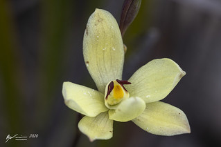 Rabbit Ears Sun Orchid