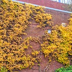 Autumn wall in Preston