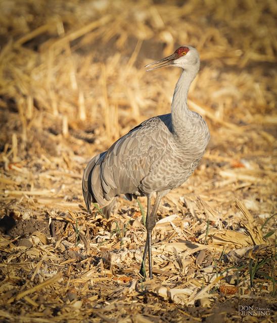 Greater Sandhill Crane (Grus canadensis tabida)