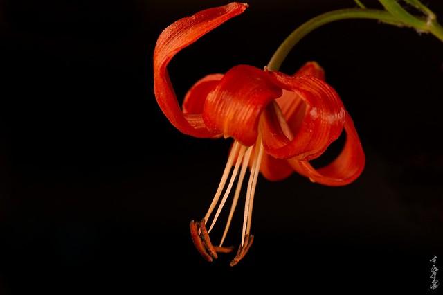 Lilium pumilum...