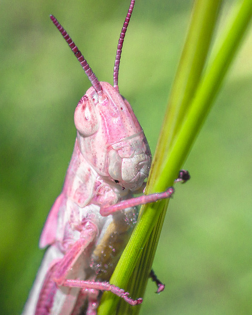 Bright Pink Grasshopper