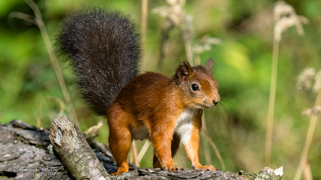 Red Squirrel 17-Sept-20  M_008