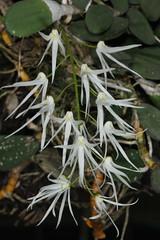 Dockrillia cucumerina (syn Dendrobium cucumerinum) 2020-10-12 02