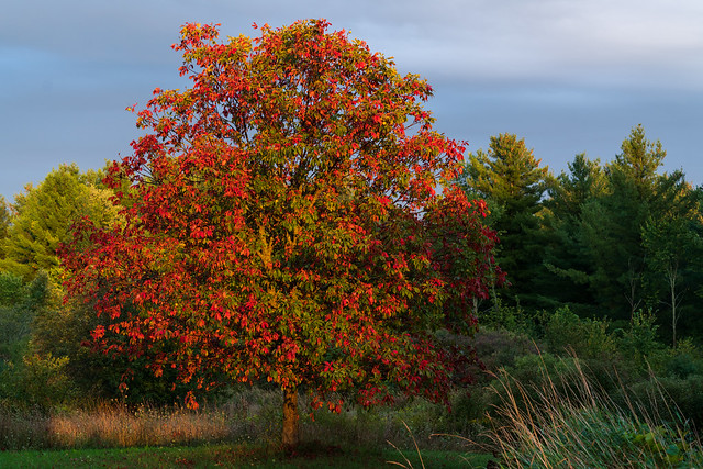 Tree with Red and Green Leaves at Dusk