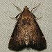 spruce needleworm moth (Hypsopygia thymetusalis)