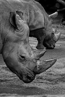 Rhinos BW-Edit